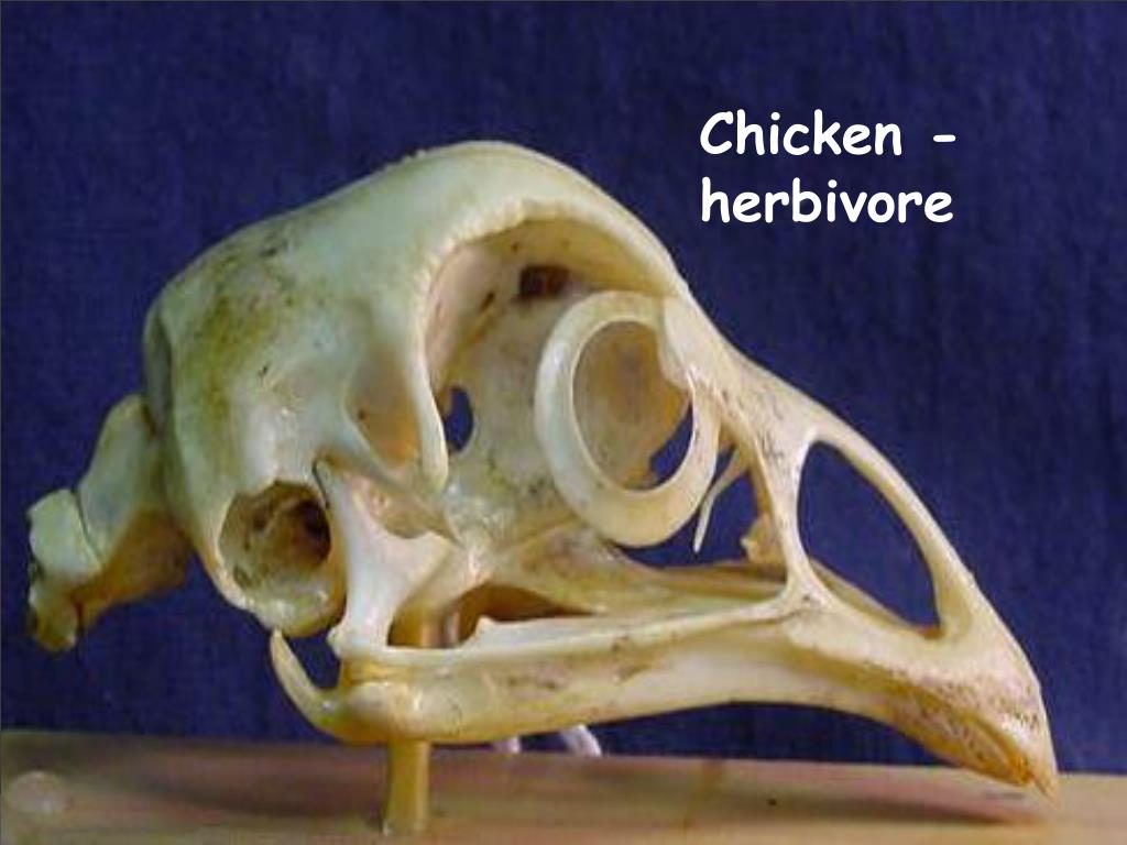 Chicken - herbivore