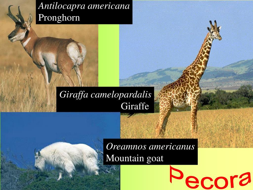Antilocapra americana