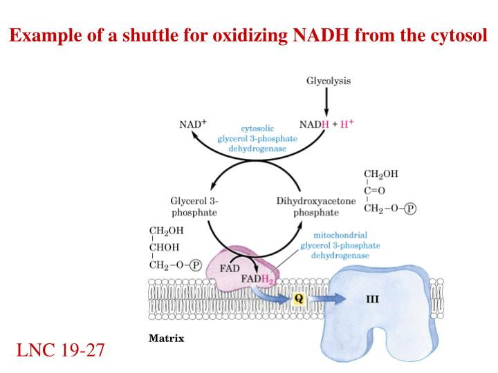Example of a shuttle for oxidizing NADH from the cytosol