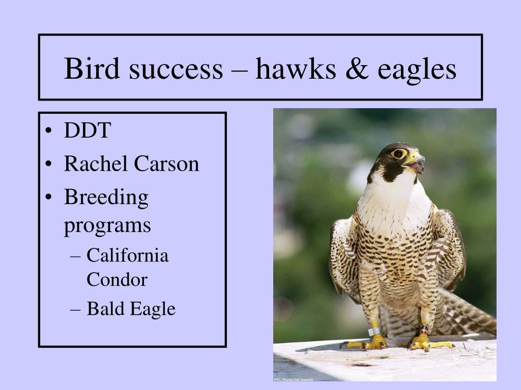 Bird success – hawks & eagles