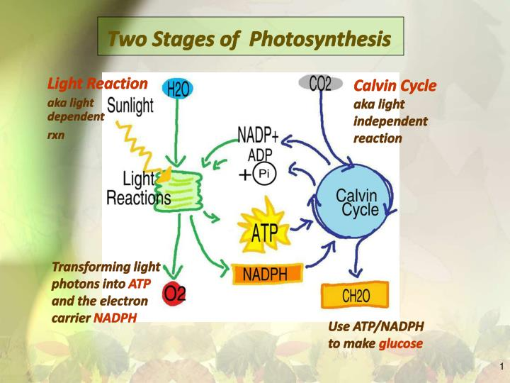 two stages of photosynthesis n.