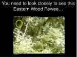 you need to look closely to see this eastern wood pewee