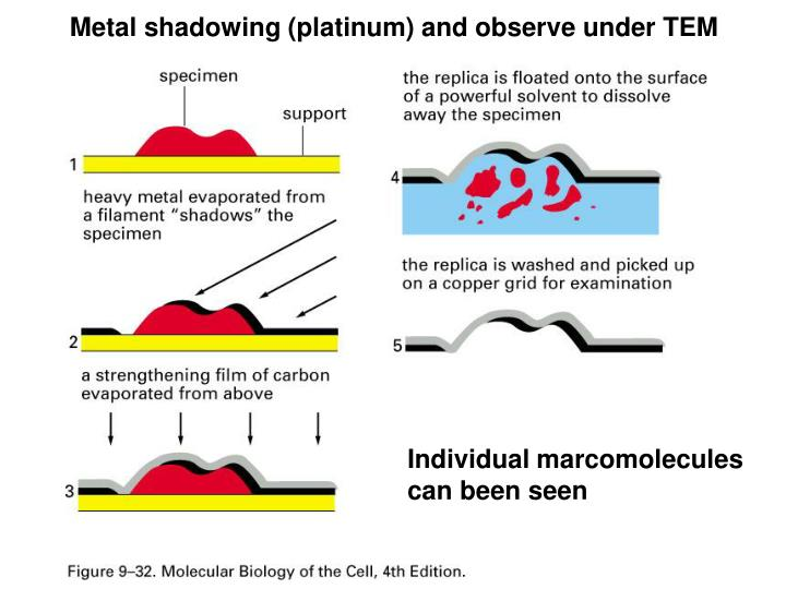 Metal shadowing (platinum) and observe under TEM