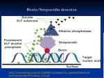 biotin streptavidin detection1