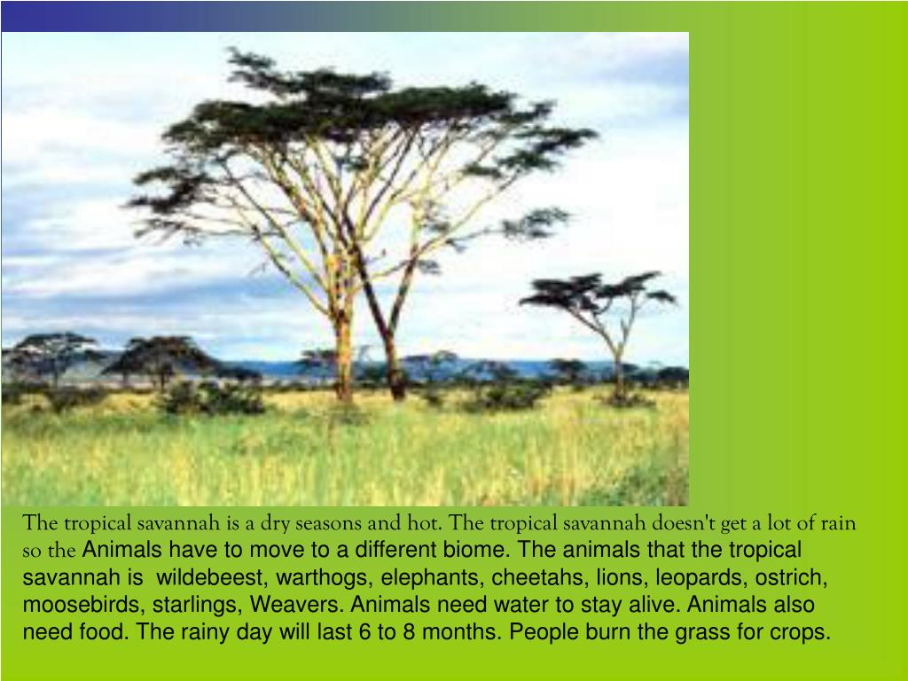 The tropical savannah is a dry seasons and hot. The tropical savannah doesn't get a lot of rain so the