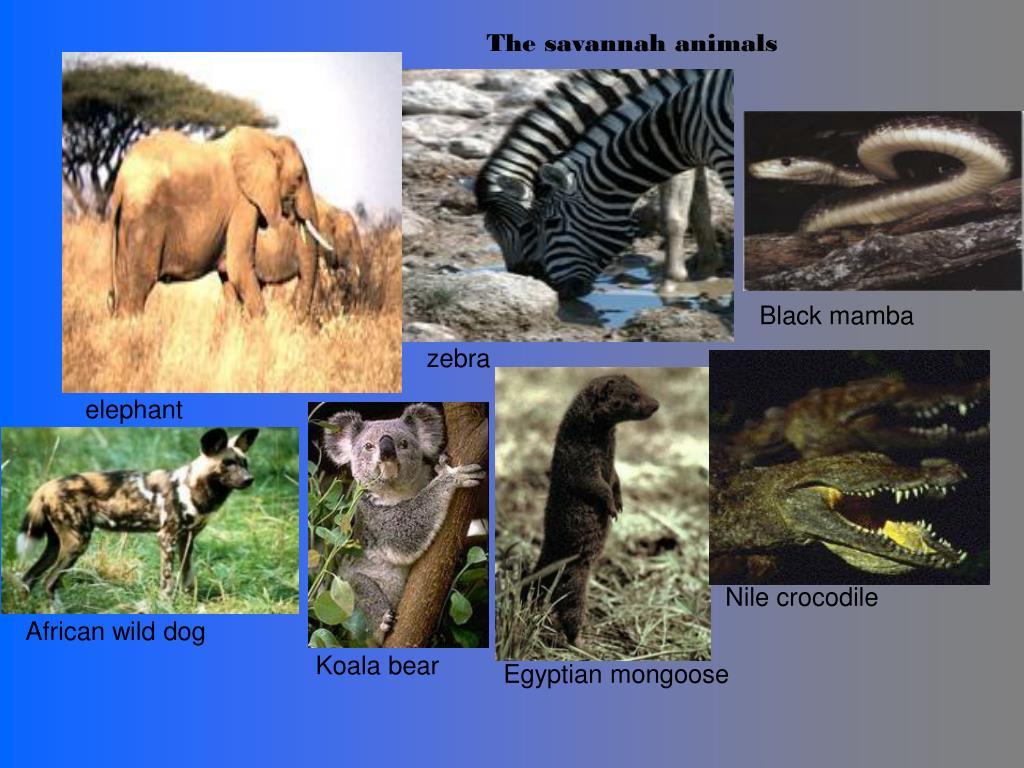 The savannah animals