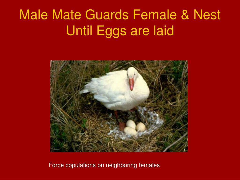 Male Mate Guards Female & Nest Until Eggs are laid