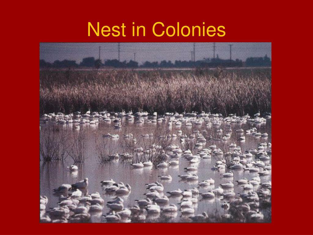 Nest in Colonies