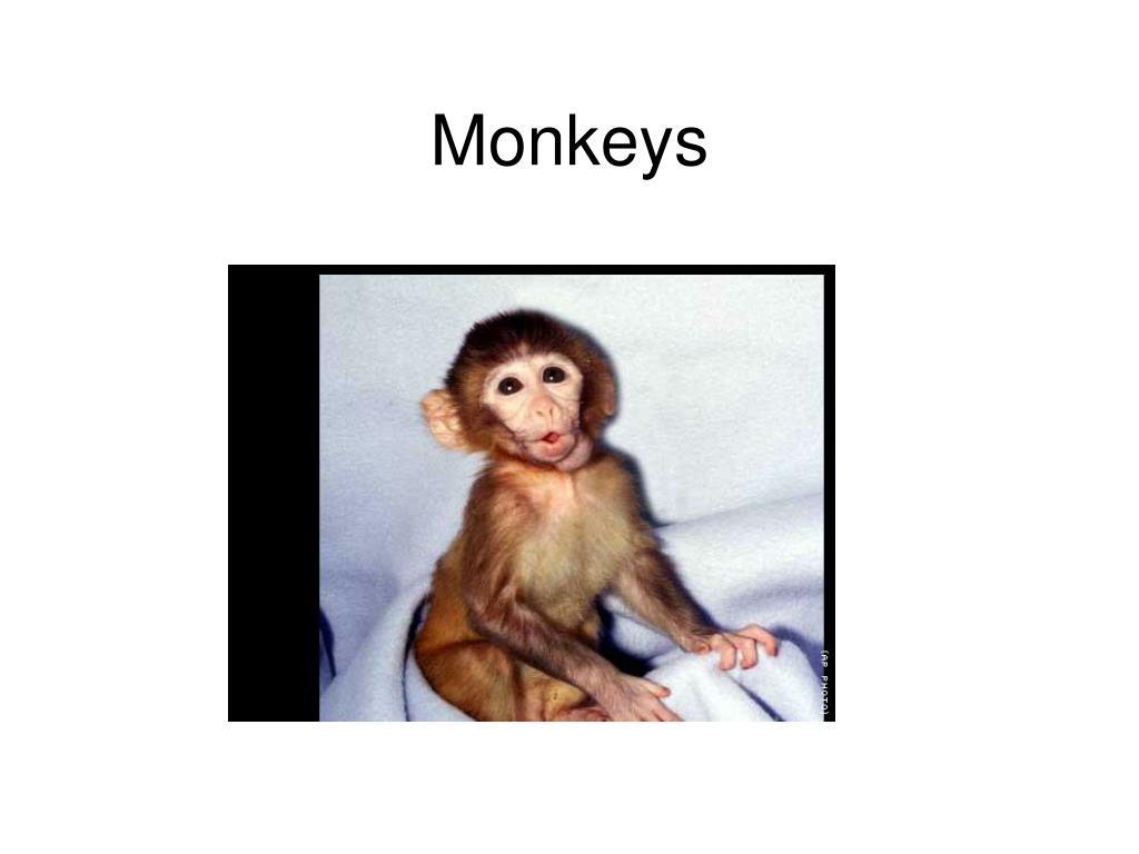 monkeys l.