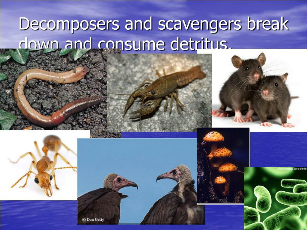 Decomposers and scavengers break down and consume detritus.