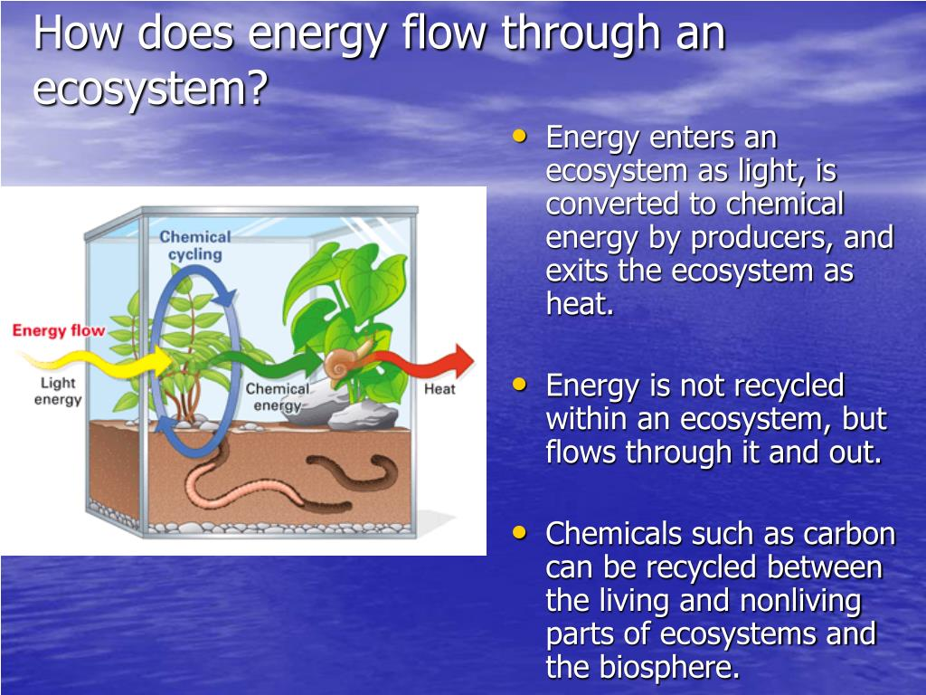 How does energy flow through an ecosystem?