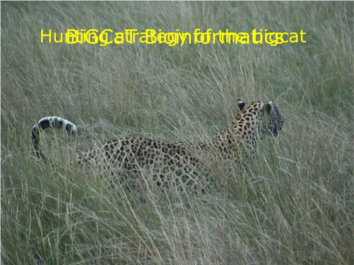 hunting strategy of the bigcat n.