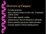 overview of caspase
