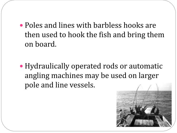 Poles and lines with barbless hooks are then used to hook the fish and bring them on board.