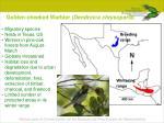 golden cheeked warbler dendroica chrysoparia